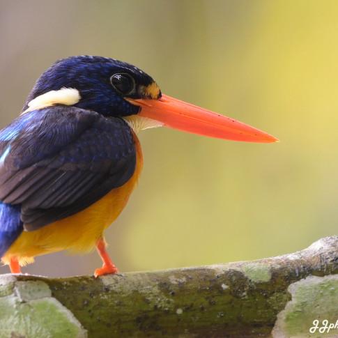 Moluccan Dwarf-kingfisher (Ceyx lepidus)