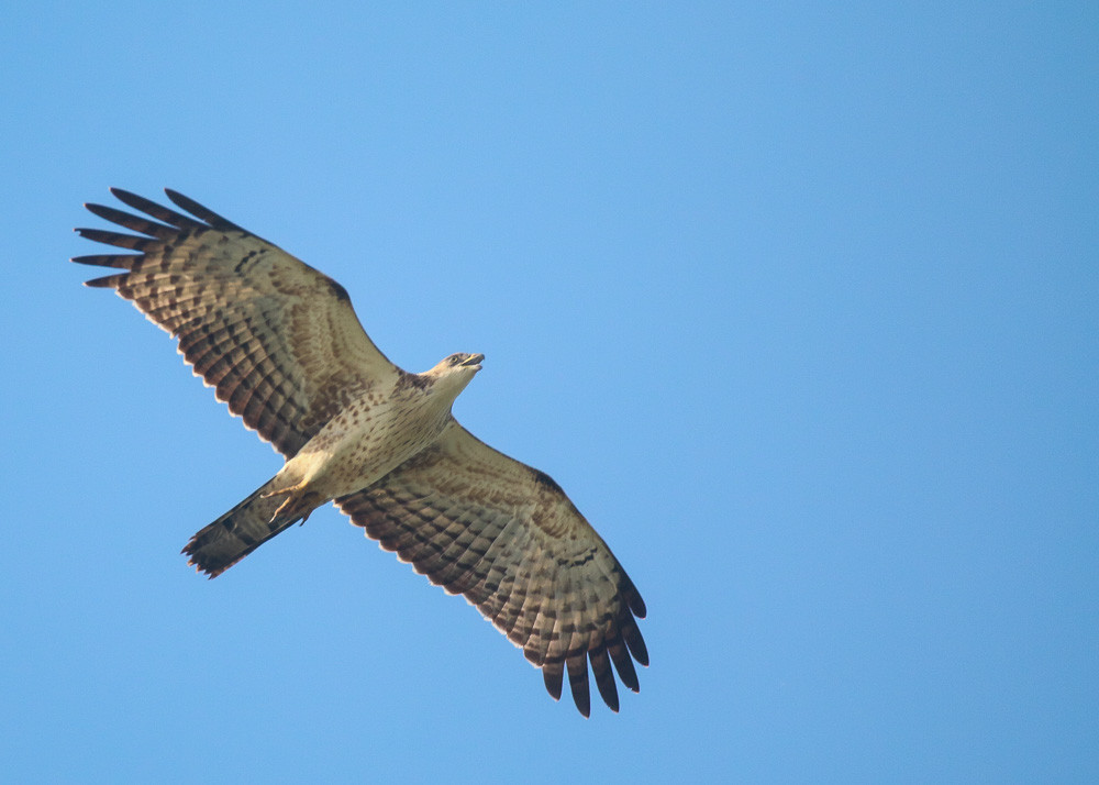 Close to Oriental Honey Buzzard