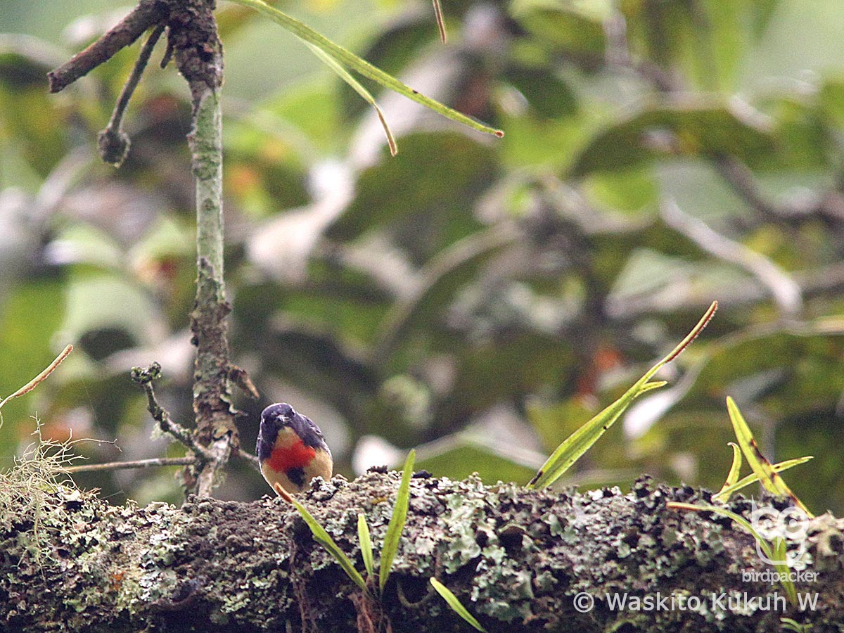 Male Blood-breasted Flowerpecker