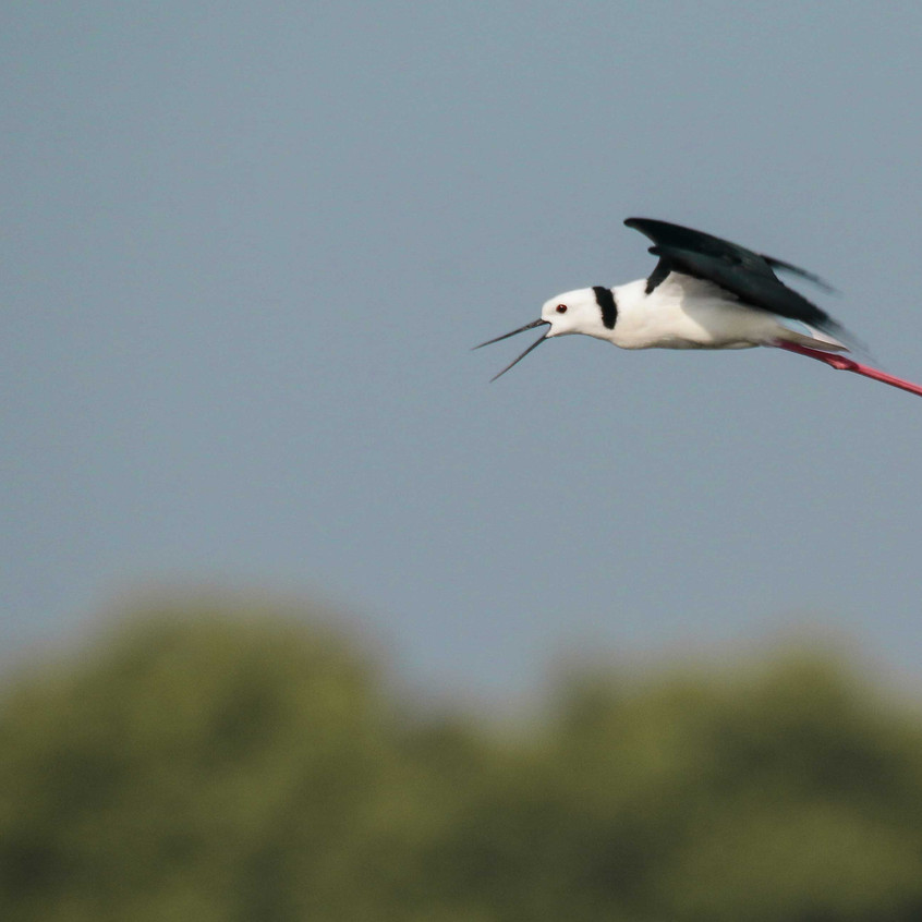 Black-winged-Stilt-Flight