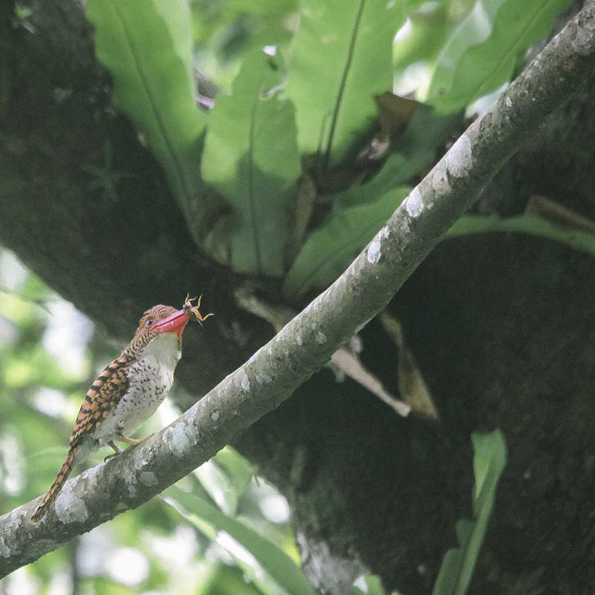 Banded Kingfisher with cricket