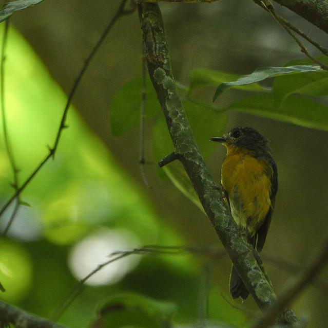 Mangrove-blue Flycatcher
