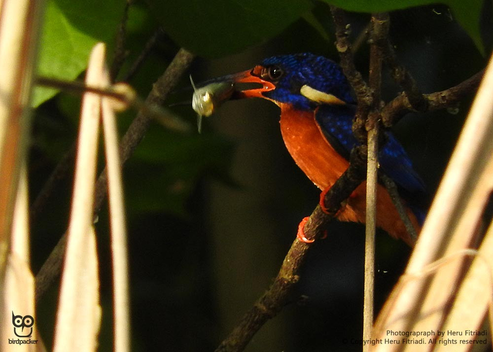 Another small sized kingfisher on site, Blue-eared Kingfisher