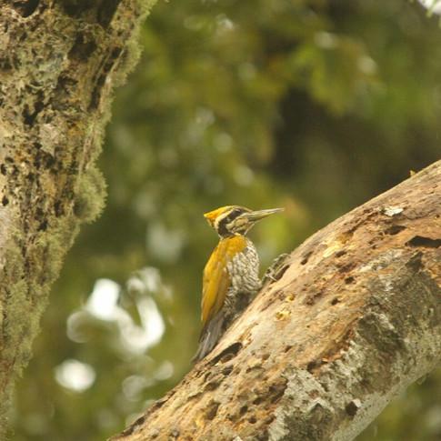 Javan Woodpecker