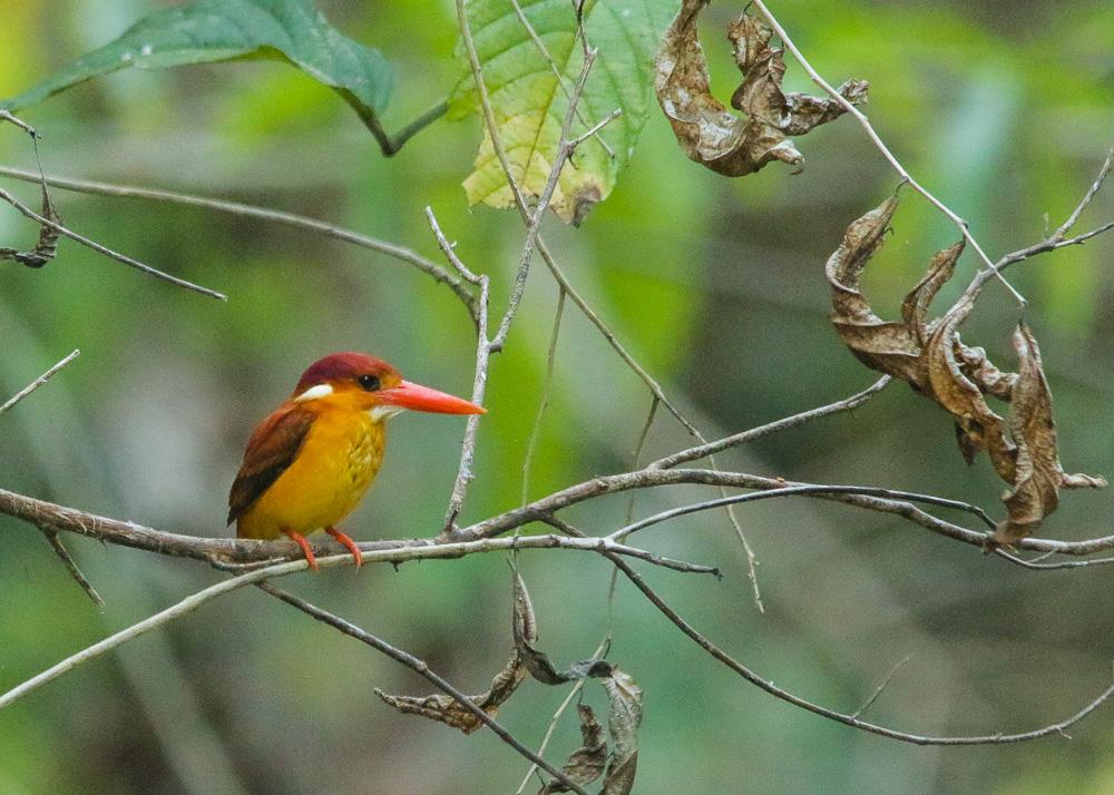 Oriental Dwarf-kingfisher_Ceyx erithaca