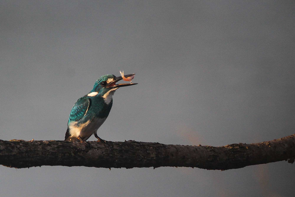 The main target Cerulean Kingfisher with prey