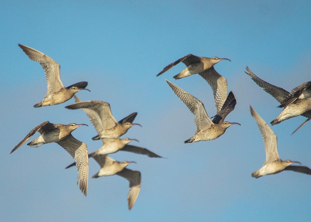 Flocks of Whimbrel flight