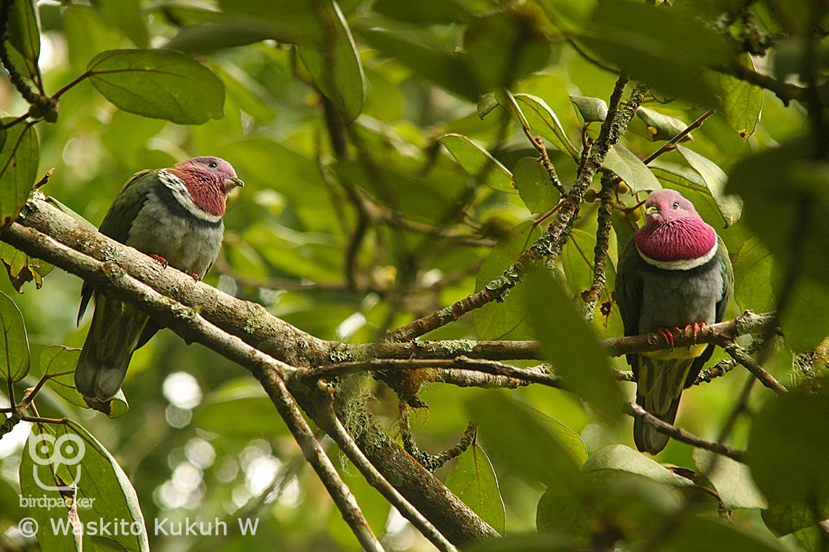 Couple of Pink-headed Fruit-Dove