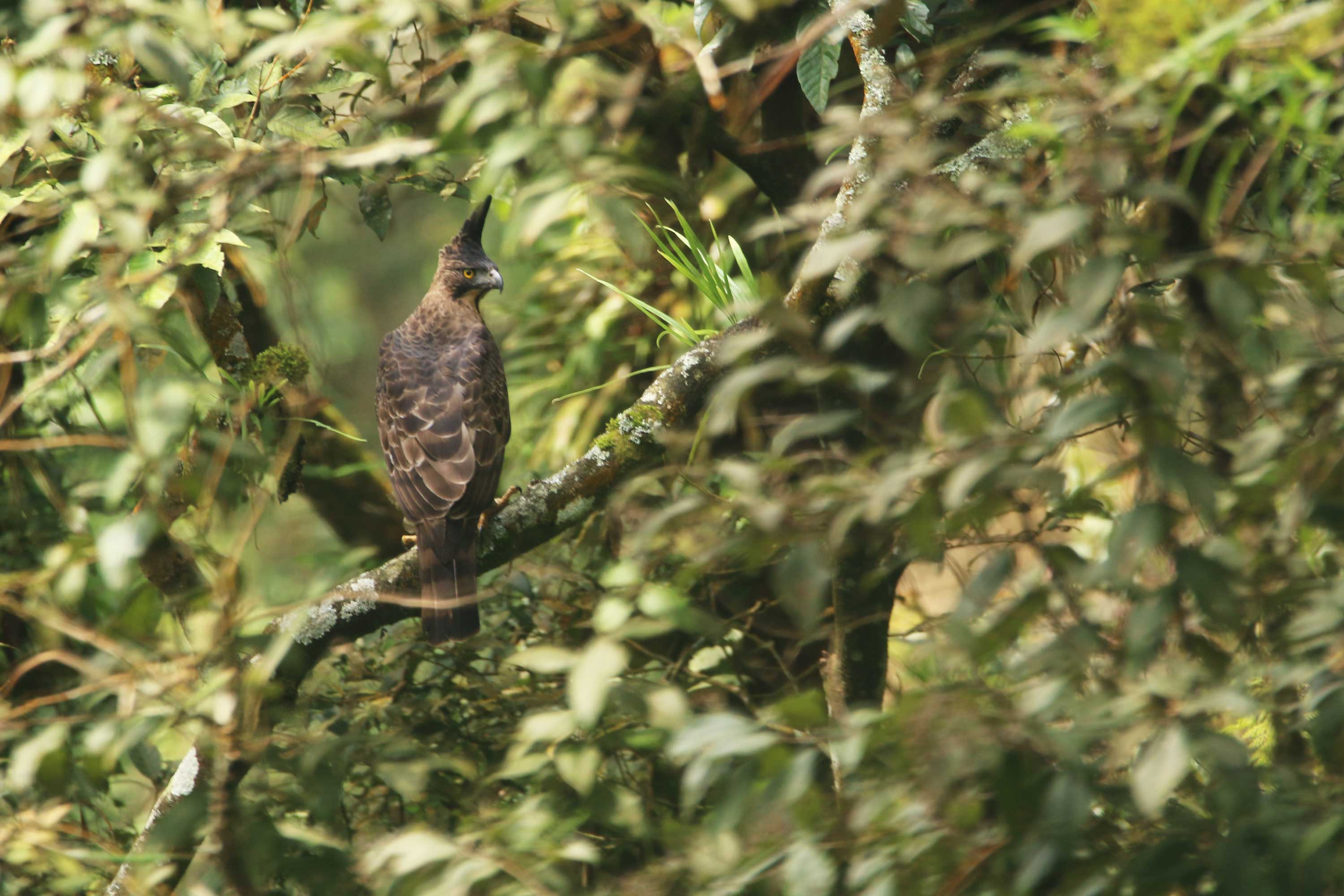 Javan Hawk-eagle