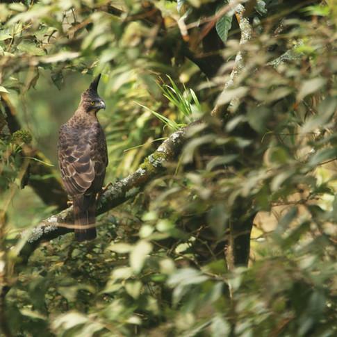 Javan Hawk-eagle