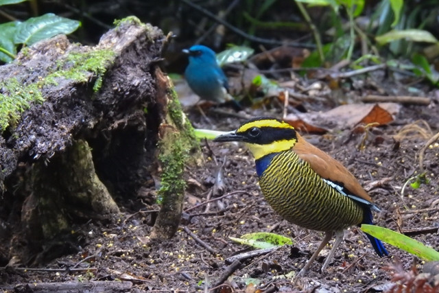 Javan Banaded Pitta and Indigo Warbling Flycatcher also present in the station
