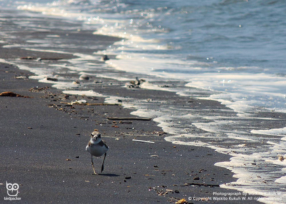 Greater Sand-Plover
