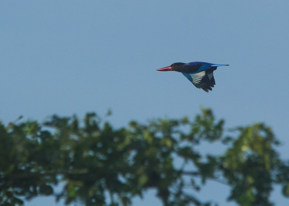 In the heart of Jogja city, you still could find Javan Kingfisher