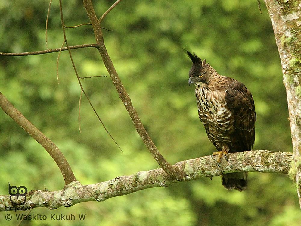 The best place to see Javan Hawk-eagle in Java is Raden Soeryo, Malang