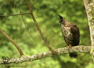 Raden Soeryo, Forest Birding Malang