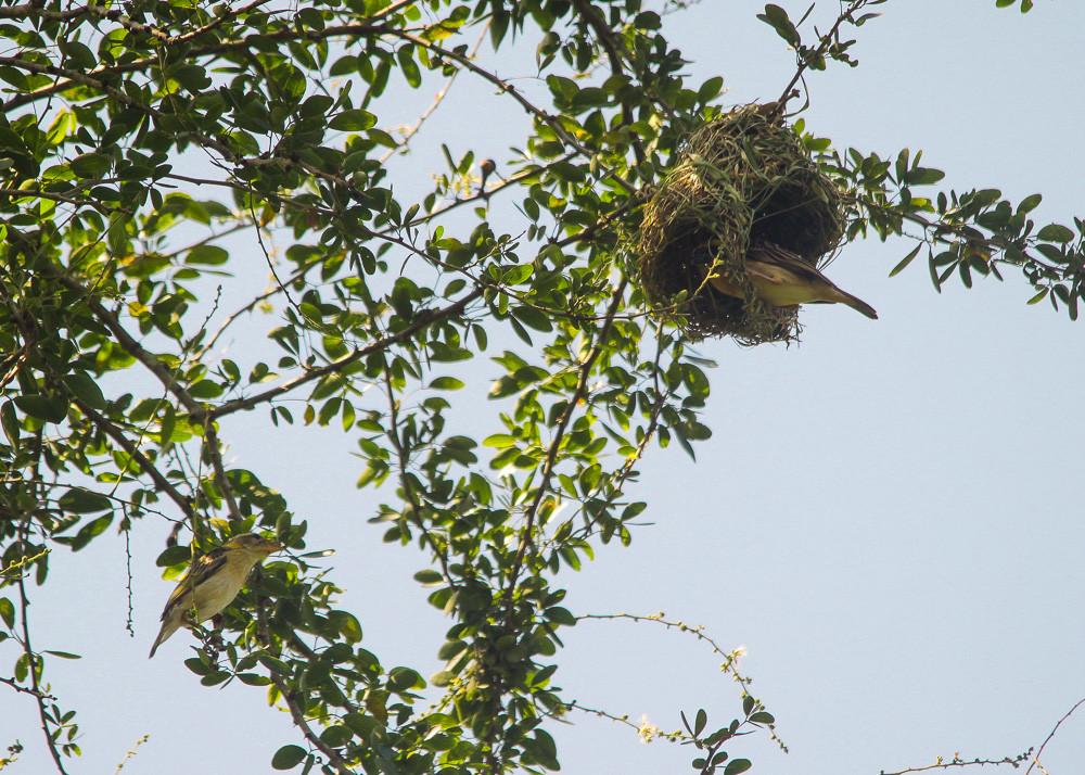 A couple Baya Weavers was building nest