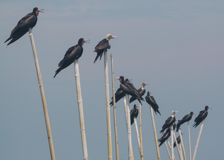 Flocks of Frigatebird