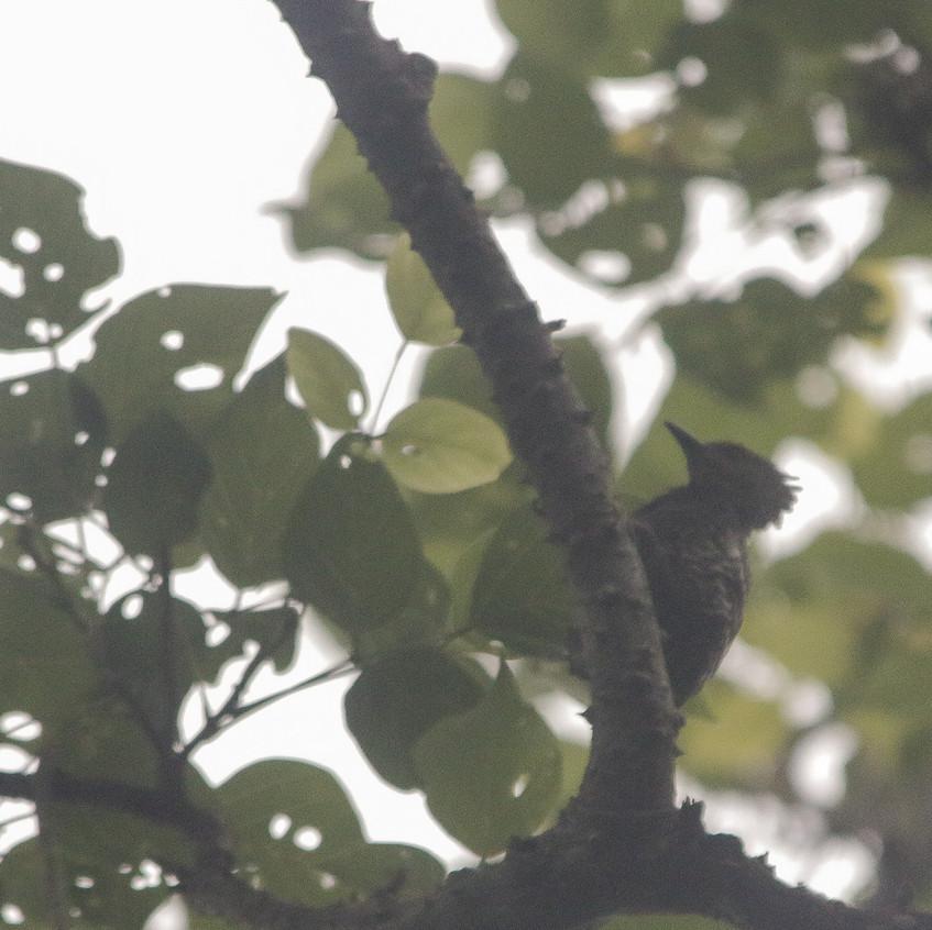 (Javan) Buff-rumped Woodpecker