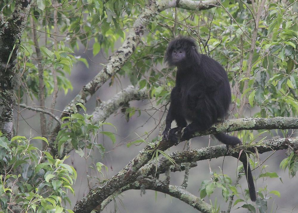 Indonesia endemic, Javan Leaf Monkey or Javan Langur