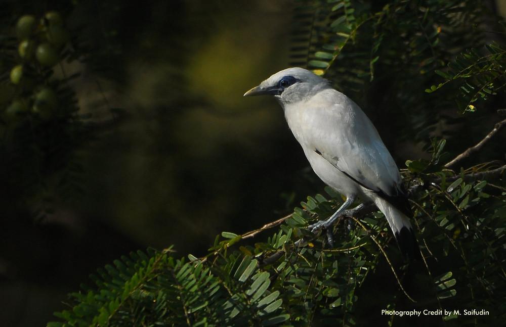 Wild Bali Myna (Starling) from Bali Barat NP