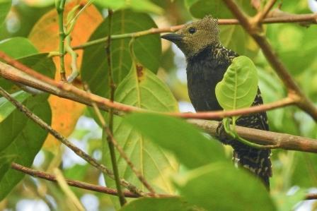 Adult female White-rumped Woodpecker
