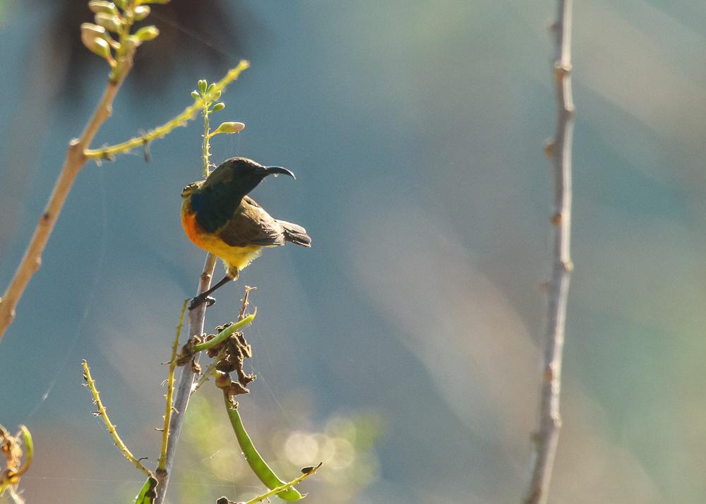 Apricot-breasted Sunbird_Cinnyris buettikoferi_SWBP