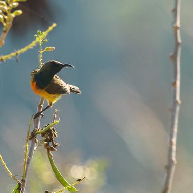 Apricot-breasted Sunbird_Cinnyris buettikoferi_SWBP.jpg