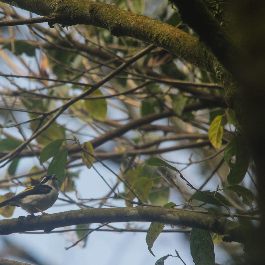Male Pied Shrike-babbler