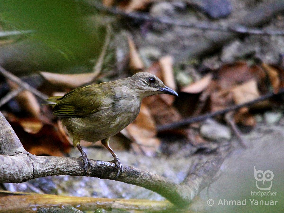 Olive-winged Bulbul-Pycnonotus plumosus