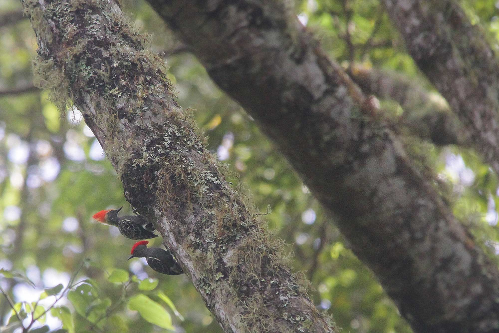 Immature (above) and adult (below) Grey-and-Buff Woodpecker, Mount Ijen