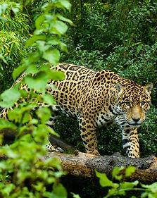 Jaguar9-540x680.jpg