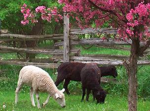 crowhill-sheep.JPG