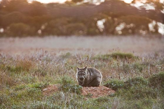 wombat-at-burrow_Dakalanta_Lawler.jpg