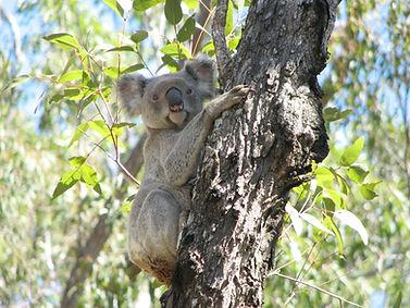 Koala Mt Zero Taravale 2006 July.jpg