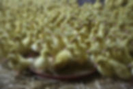 01-poussin-canard-mulard.jpg