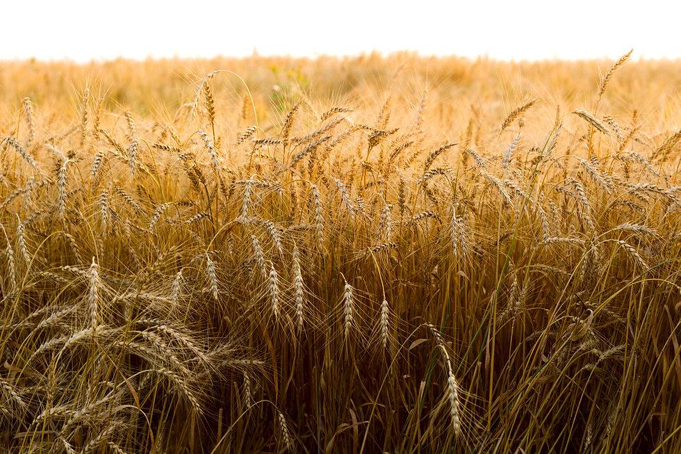 spikes-of-ripe-rye-on-a-summer-evening-PQEBWS4.jpg