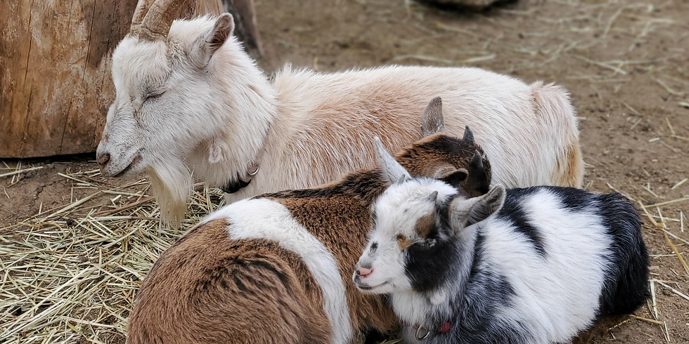 Storytime with Goats