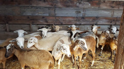 Sheep of Seek First Ranch