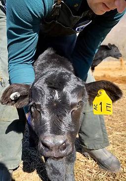 JClapper calf.jpg