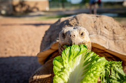 Tortoise Feeding at Aggieland Safari