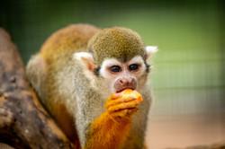 Squirrel Monkey at Aggieland Safari