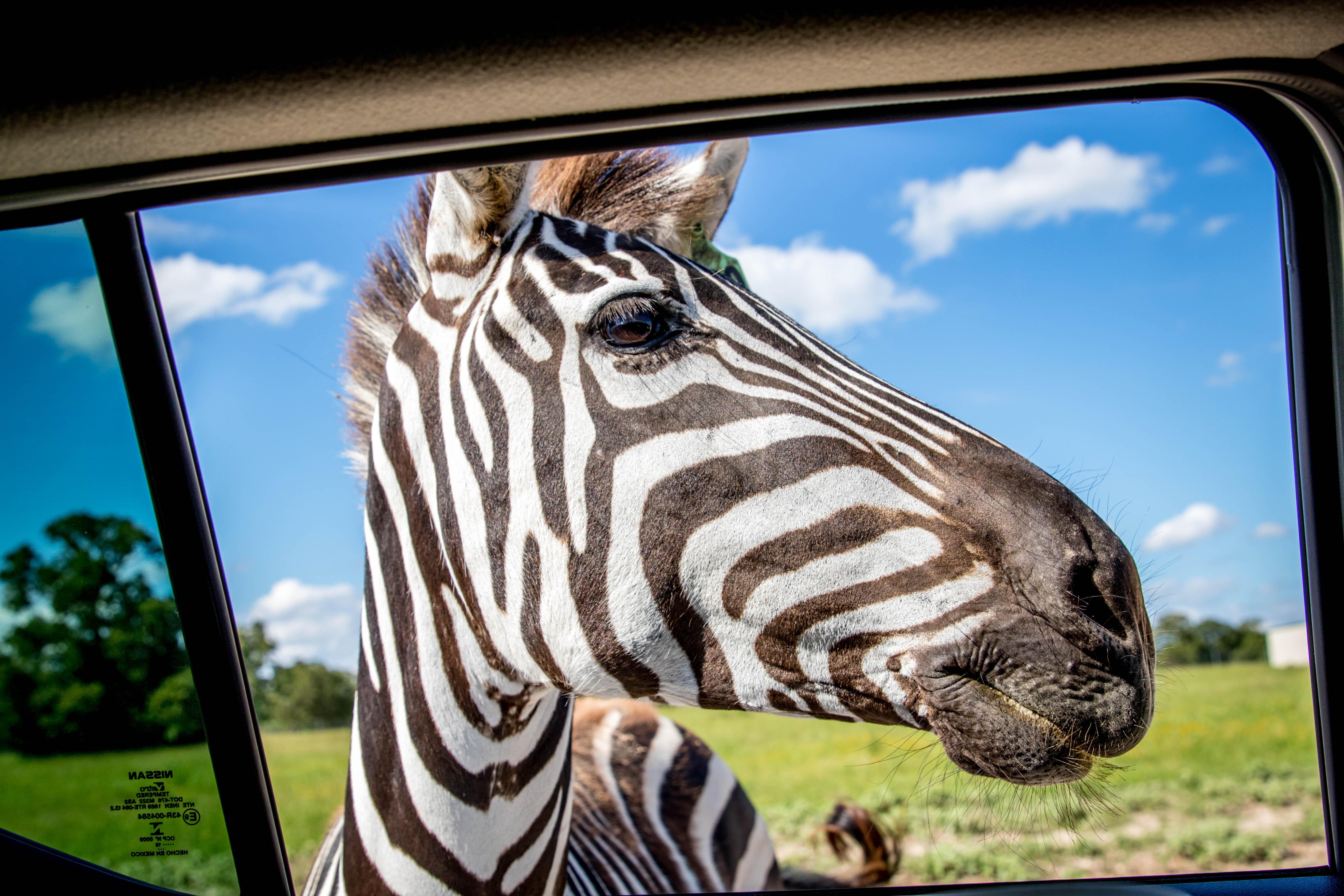 Zebra at Aggieland Safari
