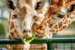 Giraffe Feeding at Aggieland Safari