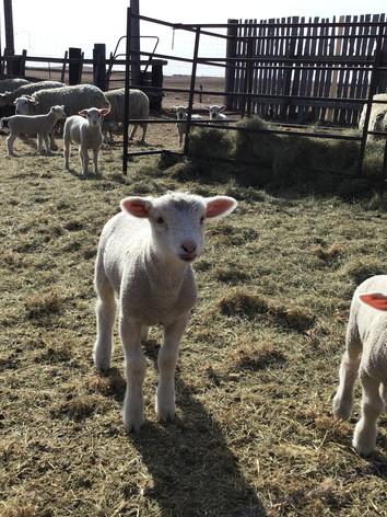 Sheep 3.jpg