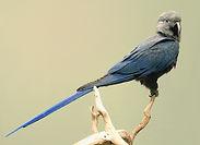 Spix's Macaw.JPG