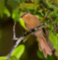Alagoas Foliage-Gleaner.jpg