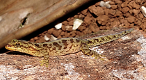 Lister's Gecko.png