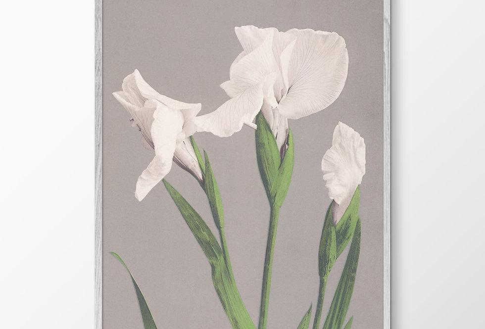 White Irisis
