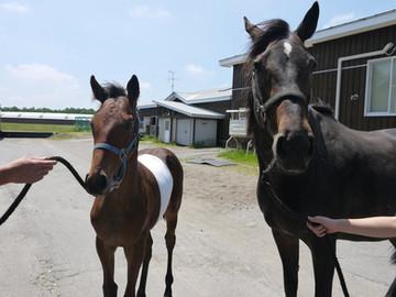 開腹手術後の当歳馬