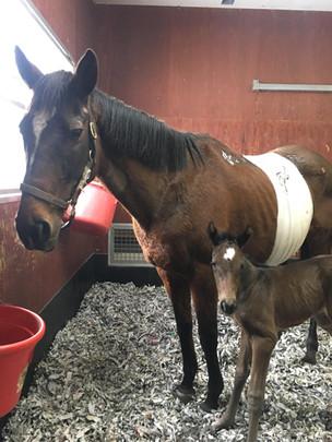 開腹手術後の繁殖牝馬